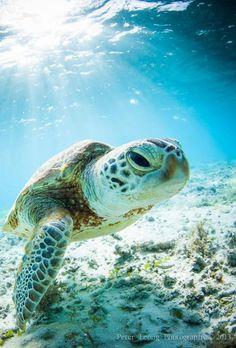 "untillthestarzfall: "" ilaurens: "" Young Okinawan Sea Turtle - By: (Pete Leong) "" i freaking love sea animals especially sea turtles "" Beautiful Creatures, Animals Beautiful, Turtle Love, Ocean Creatures, Tier Fotos, Tortoises, Ocean Life, Marine Life, Spirit Animal"