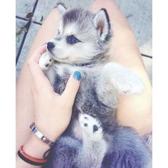 Cute husky puppy with blue eyes Cute dogs ღ ❤ liked on Polyvore featuring animals,