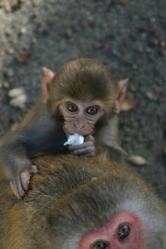 Macaque planète  sauvage