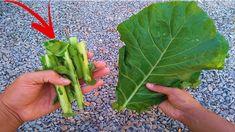 Nunca mais jogue fora o talo da couve (3 dicas indispensáveis) Health Chart, Backyard Garden Design, Vegetable Garden, Celery, Diy And Crafts, Make It Yourself, Vegetables, Fruit, Plants