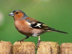 Welcher Vogel ist das? Vogelstimmen erkennen!   Duda.news Birds, Animals, Pintura, Chaffinch, Red Fox, House Martin, Amazing Drawings, Kinds Of Birds, Day Care