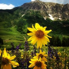 Beautiful wildflowers never get old! #cbcolors #crestedbutte @wildflowerfest