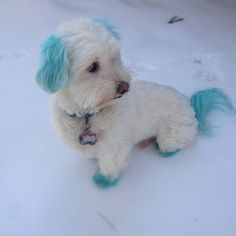 Winter leave you feeling blue? Add some color with PetSmart's new color chalking, available at your local PetSmart Grooming salon. (photo by: Havanese Grooming, Havanese Puppies, Pet Grooming, Grooming Salon, Dog Hair Dye, Dog Dye, Animals Beautiful, Cute Animals, Dog Haircuts