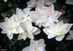 Bigleaf Hydrangea (Hydrangea macrophylla 'Hanabi') from HGTV's plant finder