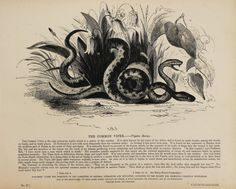 1840s Antique Animal Print, Large Black & White Wood Engraving, Common Viper…