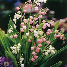 Convallaria Lelietje van Dalen Collectie - 10 planten kopen veilig online bestellen