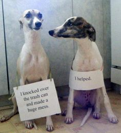 Whippet shaming....tho they don't look too sorry  LOL