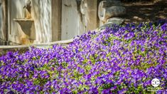 Digital Product Thumbnail - Spring in Madrid at Quinta de Molinos Almonds Park Spring Photography, Almonds, Madrid, Park, Digital, Plants, Image, Almond Joy, Parks