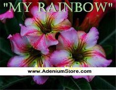 Adenium 'My Rainbow' 5 Seeds
