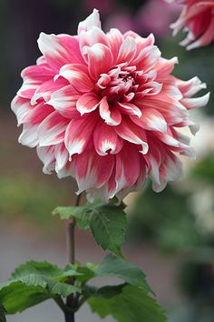 Dahlia. I want to try growing these this summer.