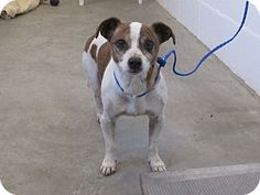 Corona, CA 4 17 2016. - Jack Russell Terrier Mix. Meet Kennel 51 Rescue Only, a dog for adoption. http://www.adoptapet.com/pet/14644393-corona-california-jack-russell-terrier-mix