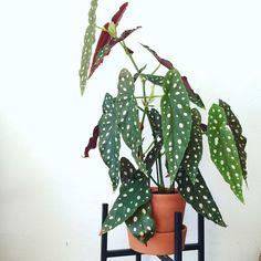 Deze plant wil je: de Begonia Macaluta heeft bladeren met witte stipjes - Roomed