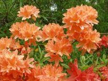 Rhododendron japonicum - japaninatsalea