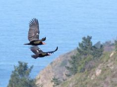 First California condor webcam in the wild goes live in Big Sur - San Jose Mercury News Big Sur Hiking, Project Place, California Condor, Redwood Forest, Big Bird, Bird Pictures, Bald Eagle, Birds, Mercury