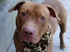 TO BE DESTROYED Tuesday 4/10/12    Manhattan Center, NYC    My name is ELANA. My Animal ID # is A0927359.  I am a female brown and white pit bull mix. The shelter thinks I am about 3 years old. Elana is striking in so many ways - she has a gorgeous tan/amber coat, healthy, gleaming and well taken care of, she has beautiful amber eyes that make wonderful contact. To find out more about Elana please click on link below and foster/adopt her!