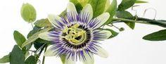 Pasiflora conocida por su actividad analgésica y anti-inflamatoria. El té de pasiflora es un remedio natural eficaz para los problemas estomacales.