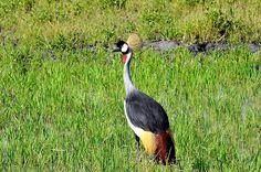 Crowned crane, Lower Zambezi National Park, Zambia