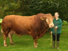 Limousin competition in Limoges - Marie Bils, 17 and a half years old presented her Limousin bull Rintintin at the national contest, and ranked among the first. - Haute-Vienne dept. - Limousin région, France        ....www.comultipress.fr
