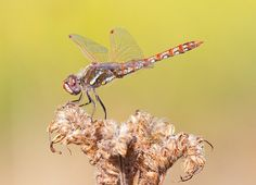 A Guest Contribution by Steve Berardi from PhotoNaturalist. Dragonflies are among the most photogenic insects. They usually have bright contrasting colors that make them really stand out in their natural environment, and their large size makes them easy to photograph with a standard telephoto lens. However, there are a few difficulties with photographing them too: …