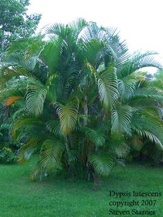 Areca palms make a wonderful screen around the pool!