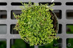 Sunnyside Gardens offers a wide variety of mini plants perfect for Fairy Gardens. This creeping moss is great for ground cover.