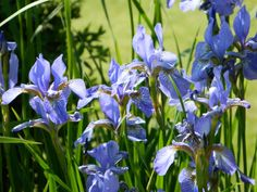 Iris sibirica 'Perry's Blue' (Siberische lis) | nr 4
