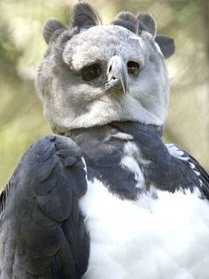 tThis bird is awesome. It's a Harpy Eagle and it looks like a Snowy Owl and Seagull collided. (The related article is full of strange creatures and useless knowledge. Highly recommended)
