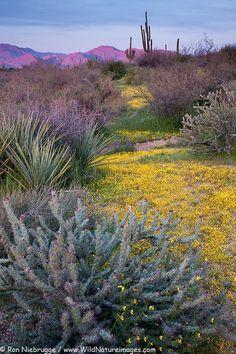 Wildflowers wildflowers, Tonto National Forest, near Phoenix, Arizona.  byRON NIEBRUGGE