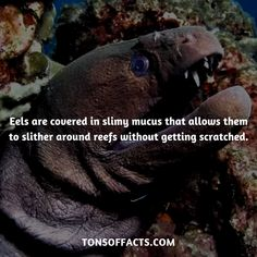 Eels are covered in slimy mucus that allows them to slither around reefs without getting scratched. Dolphin Facts, Whale Facts, Dinosaur Facts, Lion Facts, Tiger Facts, Cat Facts, Fun Facts About Animals, Animal Facts, Elephant Facts
