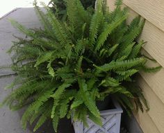 aug 2012...kimberly queen patio fern