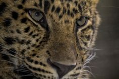 The World's Rarest Cats: Growing Up (from the blog of the San Diego Zoo)