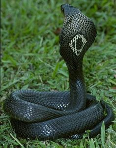 Monocled Cobra this is one of my favorite types of snakes, they're beautiful, they're deadly, and they wear monocles! Les Reptiles, Cute Reptiles, Reptiles And Amphibians, Beautiful Snakes, Animals Beautiful, King Cobra Snake, Types Of Snake, Snake Venom, Snake Art