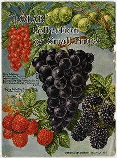 "Since Farmer Seed & Nursery prided itself on offering seeds for northern climes, this aptly named ""Polar"" collection of berries, currants, and grapes was the perfect selection for the back cover of the 1915 catalog.  Farmer Seed & Nursery originated in Faribault, MN in 1888. Andersen Horticultural Library has a collection of their vintage catalogs."