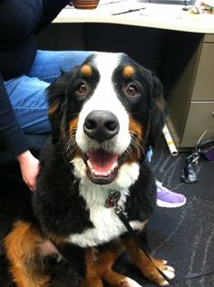Grizzly - 95 pound Bernese Mountain Dog. Our resident gentle giant.