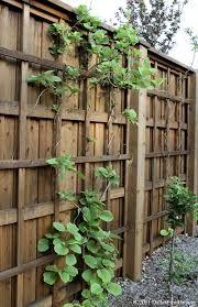 Image result for hardy kiwi vine on fence