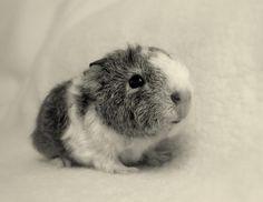Baby g. pig