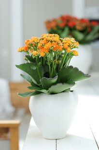 Kalanchoe: home care – photos – Plant Ideas Growing Succulents, Planting Succulents, Exotic House Plants, Plantas Indoor, Indoor Flowering Plants, Hydroponic Plants, Small Trees, Landscaping Plants, Permaculture