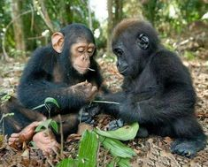 Baby gorilla and a chimpanzee. Apparently, the chimp, who is older, is teaching the gorilla something Primates, Zoo Animals, Cute Baby Animals, Funny Animals, Wild Animals, Beautiful Babies, Animals Beautiful, Baby Gorillas, Chimpanzee
