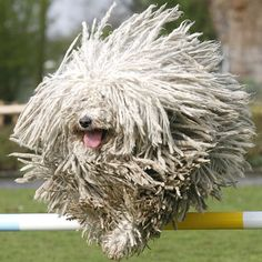 Komondor Dog-Funny Looking Animals Funny Looking Animals, Funny Animals, Cute Animals, Pet Dogs, Dogs And Puppies, Dog Cat, Chien Komondor, Mop Dog, Puli Dog