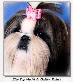 Shih Tzu~Elite Top Model du Golden Palace