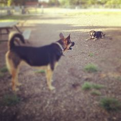 It's a dog off at Catherine Street Park! - St. Catharines, ON - Angus Off-Leash #dogs #puppies #cutedogs #dogparks #stcatharines #ontario #angusoffleash