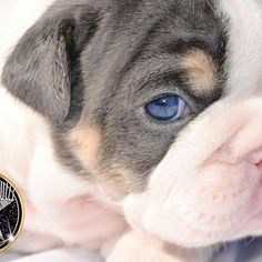 """""""SHRINKABULLS GENESIS BLUE"""" .... :) 4 week old baby girl from Cotton Candy & Ace Jr exotic blue tri 👍""""LIKE"""" & """"SHARE"""" 🔄 PAWEEESE 🐶. Reserving puppies to join approved homes. 🐶Shrinkabulls family@ 📞 614-594-3220 or 614-594-3014 💌 Email: Shrinkabulls@gmail.com , 🏡 http://shrinkabulls.com/"""