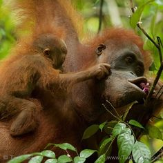 Photo by @TimLaman.  A baby orangutan pulls at her mother's face while she tries to eat some flowers from a Fordia tree in #GunungPalung National Park.  This image is one of my winning images from the Wildlife Photojournalist Photo Story category at the Wildlife Photographer of the Year awards recently.  It is part of my @NatGeo coverage of amazing new findings about orangutans, but also the critical conservation issues they face.  See the full story in the upcoming Dec issue of @NatGeo…