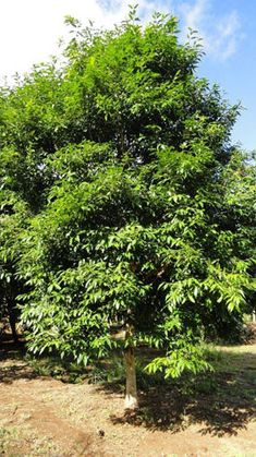 WATERHOUSIA floribunda (Weeping Lilly Pilly) Australian Native Tree 8-15m, rounded shape. Shade tree. Suitable for heavy/clay soil.