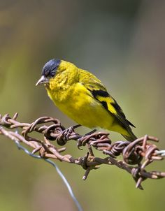Andean Siskin - Carduelis spinescens Cardinal Bird House, Tarin Des Aulnes, Siskin, Finches, Linnet, Goldfinch, Colorful Birds, Little Birds, Bird Houses