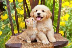 Golden puppy and kitten