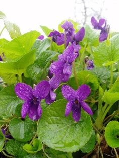 wild violets - like weeds in my yard but I love them.