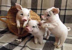 Needle felting. 3 little piggis.
