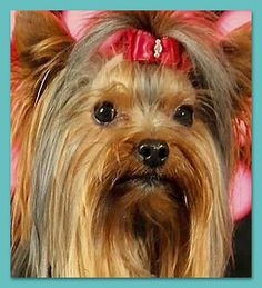 Let's Talk Yorkie -- Photo Gallery