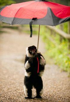 Grumpy Leon the Lemur has enough of rainy June and steals an umbrella